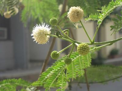 ginnemu-leucocephala.jpg