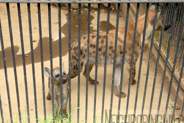 omiya-hyena2.jpg
