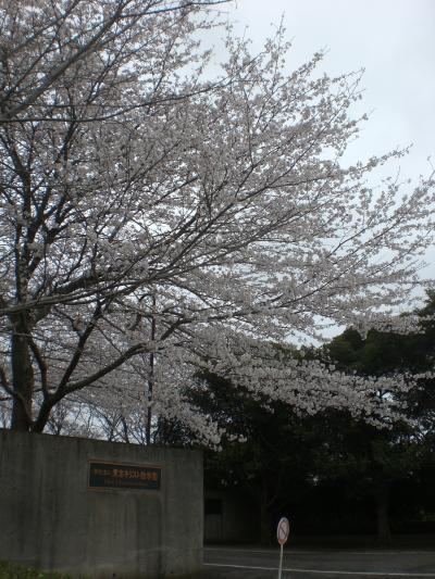 TCUの桜3