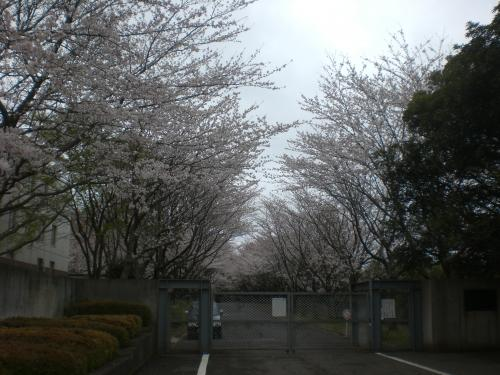 TCUの桜2
