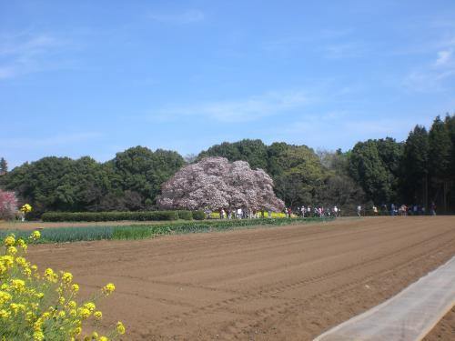 吉高の大桜7
