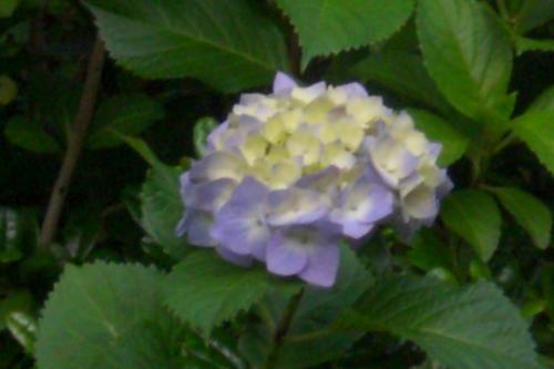 新浦安の紫陽花3