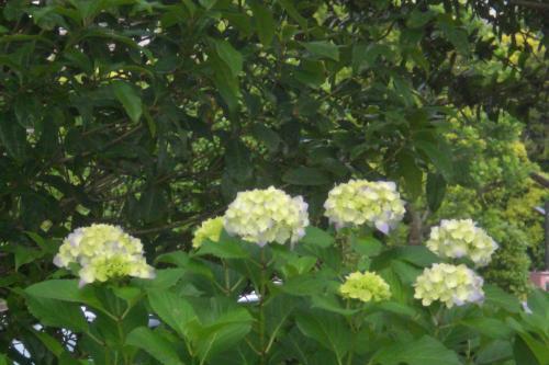 新浦安の紫陽花1