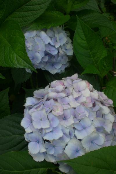 井の頭線紫陽花8