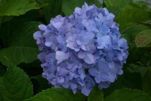 井の頭線紫陽花2