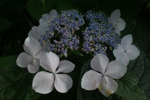 井の頭線紫陽花1