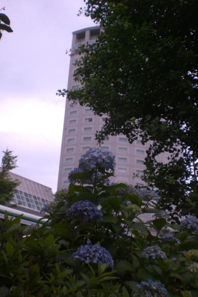 ブライトンと紫陽花