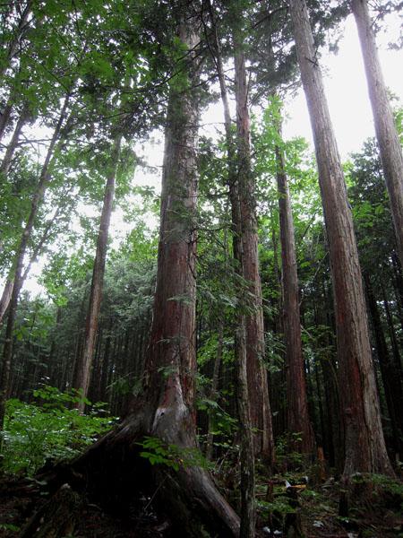 赤沢自然休養林④