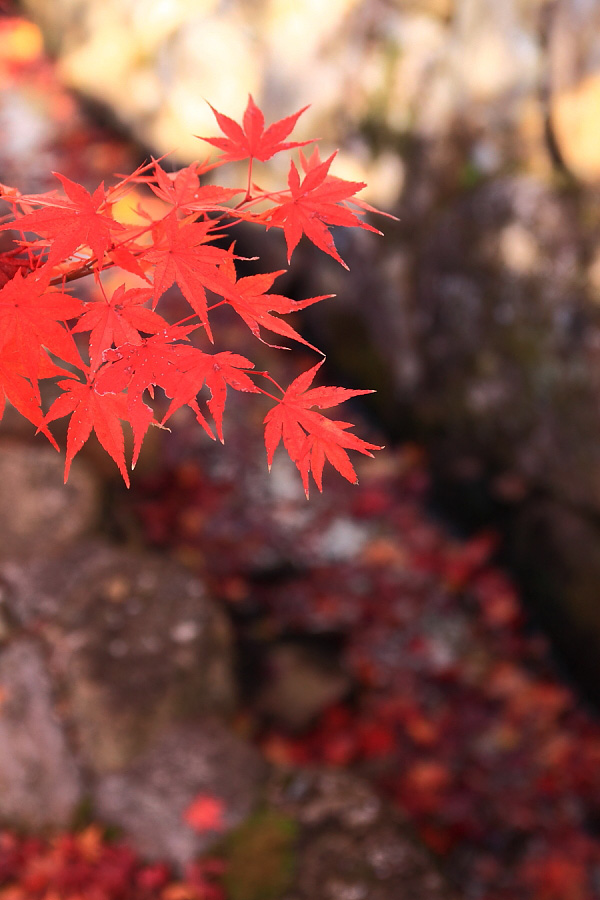 静枝@川西市満願寺(by EOS 50D with SIGMA 18-50mm F2.8 EX DC MACRO)
