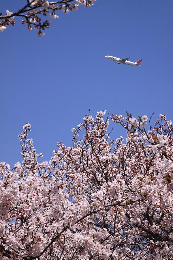 瑞ヶ池公園の桜&JAL B777-246 JAL114@瑞ヶ池公園(by EOS50D with SIGMA 18-50mm F2.8 EX DC MACRO)