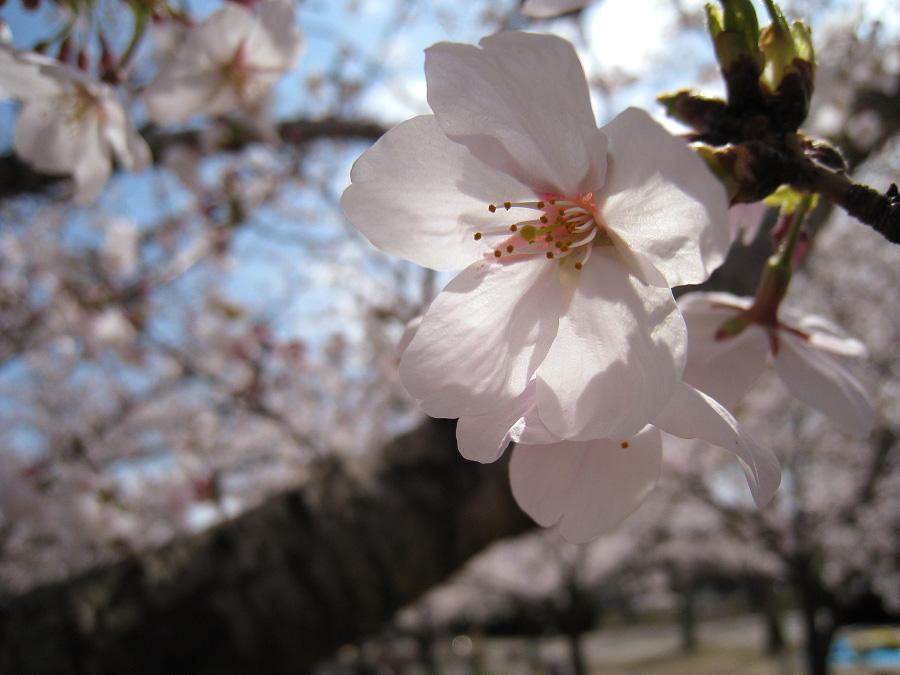 昼休みの瑞ヶ池公園の桜・其の弐@瑞ヶ池交通公園(by IXY DIGITAL 910IS)
