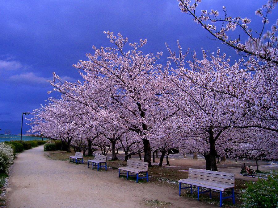 今夕の桜@瑞ヶ池公園(by XIY DIGITAL 910IS)
