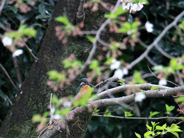 カワセミ桜散1