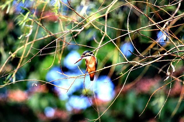 カワセミM幼鳥