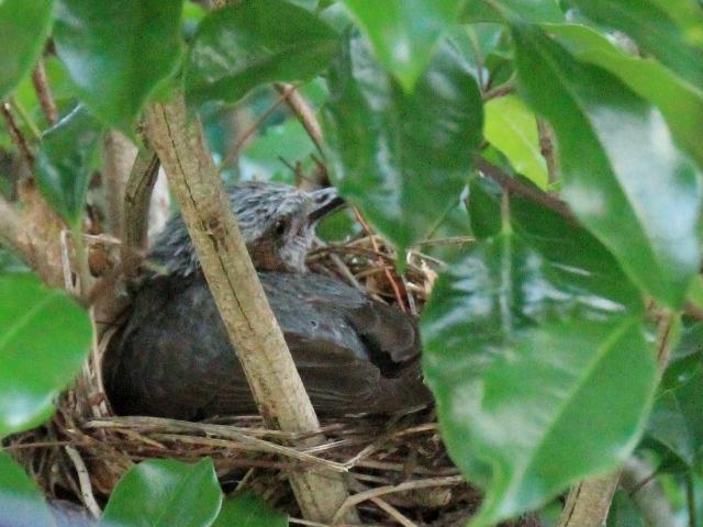 ヒヨドリ抱卵l