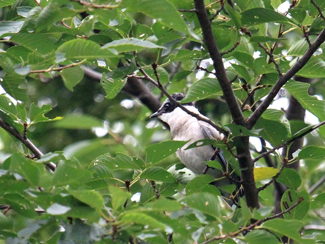 IMG_0276オナガ幼鳥