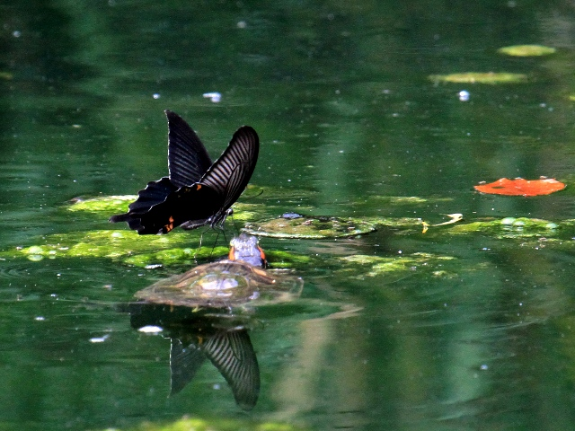 IMG_0543蝶と亀