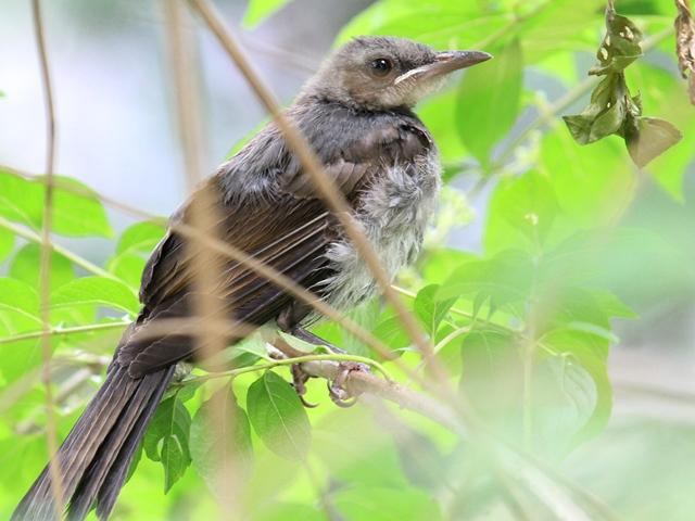 IMG_0699ヒヨドリ幼鳥