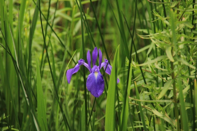 紫ハナショウブ