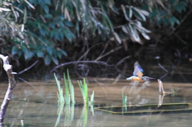 カワセミ雌の飛翔