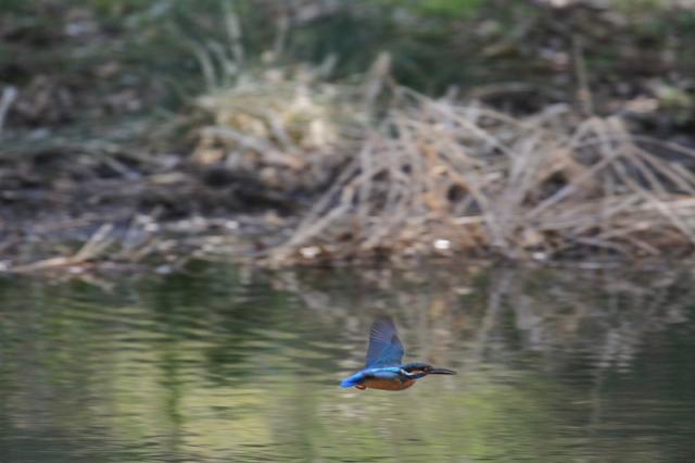 カワセミ雄の飛翔