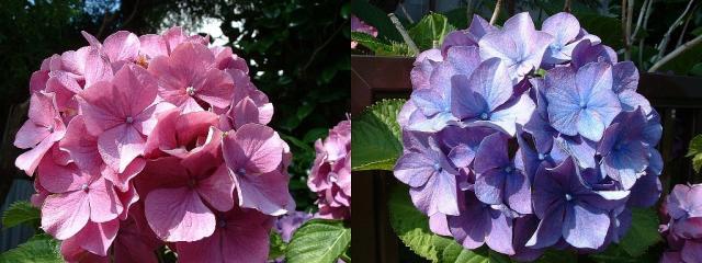 060617-紫陽花-s