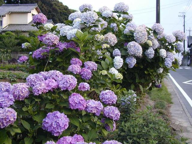 060608-紫陽花