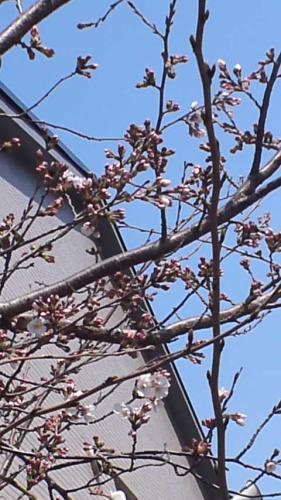 2012.3.27桜2