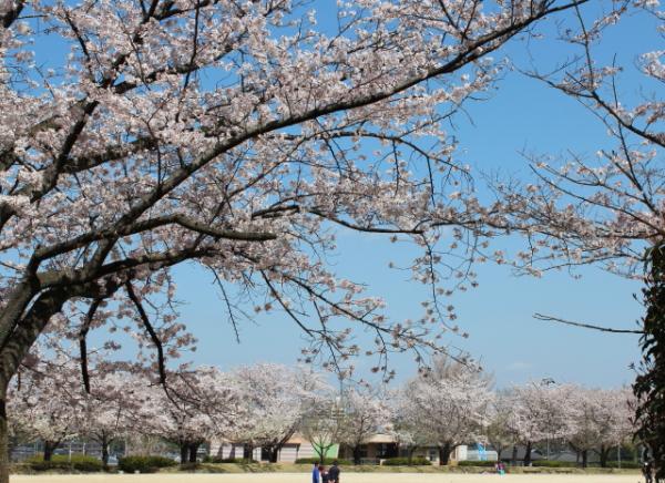 2012.4.1桜1