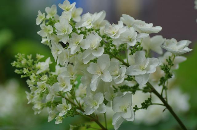 f2295af6dbdde7e1a7bd82e29aa4a04e柏葉あじさいの花