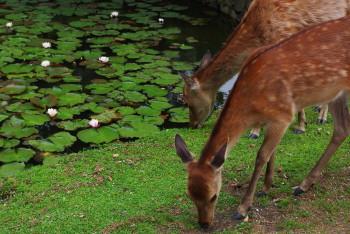 20110526201840085夏毛の鹿とスイレン