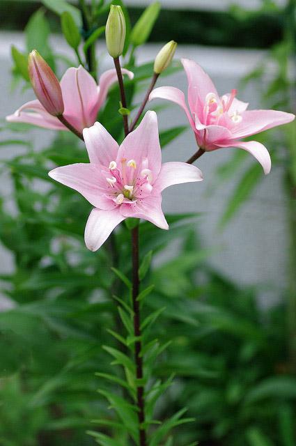 ピンクの百合2