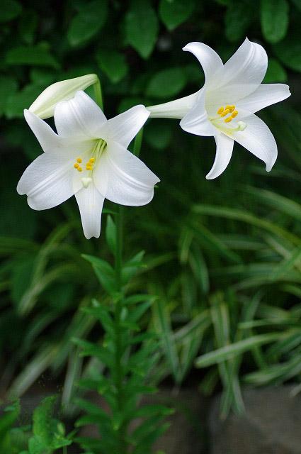 白ユリの花