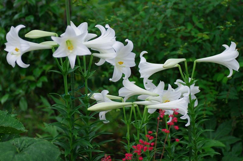 1efb5481a39c21d6f63efa00113c5fe10白百合の花