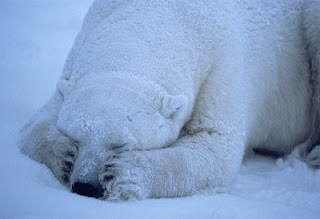 polar-bear-sleeping[1]