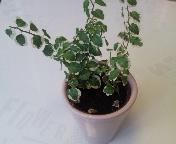 ミニ観葉植物ホワイトサニー