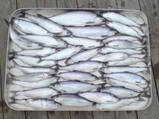 20111024 いっぱい釣れた