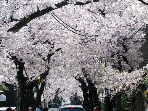 2011・04・10桜トンネル1