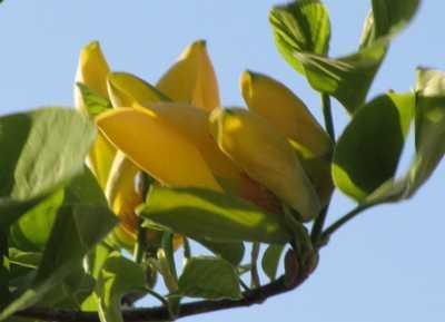 黄モクレン1