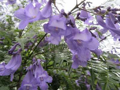 ジャカランダの花5