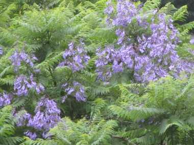 ジャカランダの花4