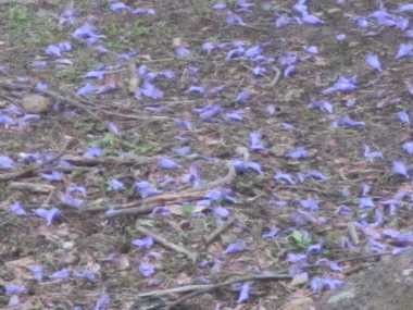 ジャカランダの花3