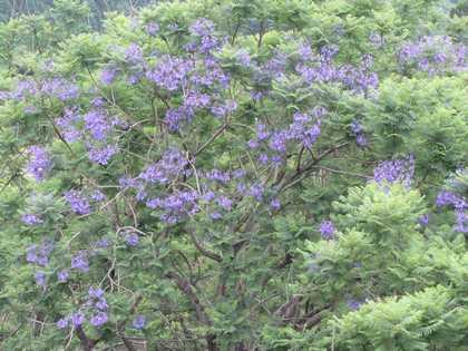 ジャカランダの花1