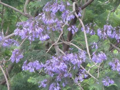 ジャカランダの花2