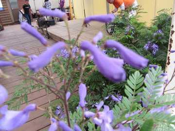 ジャカランダの花つぼみ