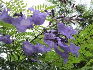 ジャカランダの花6