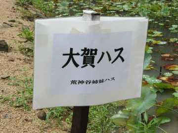 大賀ハス1