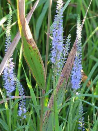 タデ原湿原の花1