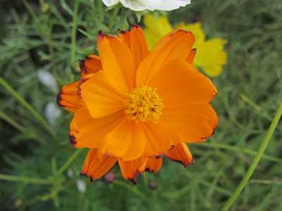 コスモス3 オレンジ