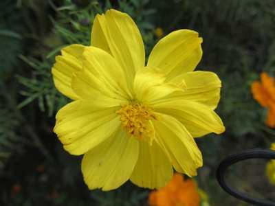 コスモス1黄色2